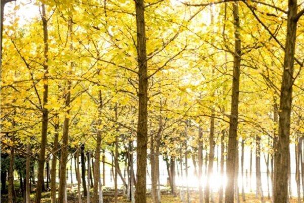 کشف راز طول عمر درختان سه هزار ساله