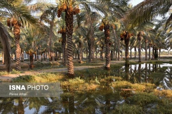 مبارزه با آفت سوسک سرخرطومی خرما دربیش از 35 هزار هکتار در سیستان وبلوچستان