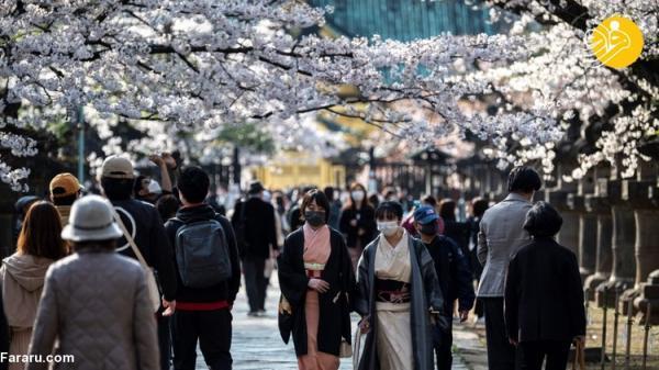 (تصاویر) شکوفایی زودهنگام شکوفه های گیلاس ژاپن