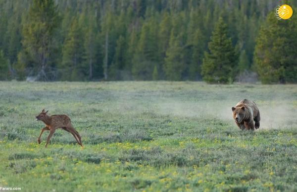 (تصاویر) شکار بچه گوزن توسط خرس گریزلی